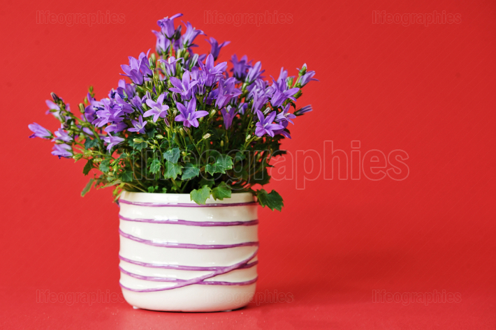 Campanula bellsflowers in small pot