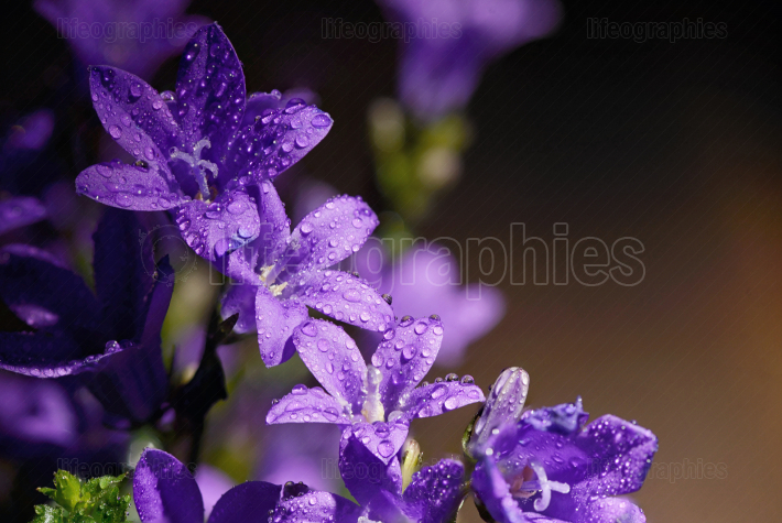 Campanula flower and dew drops