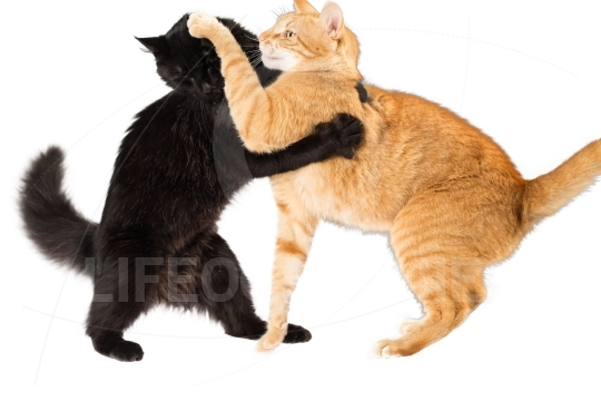 Cat fighting