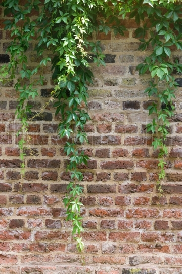 Climber plant with red brick wall background