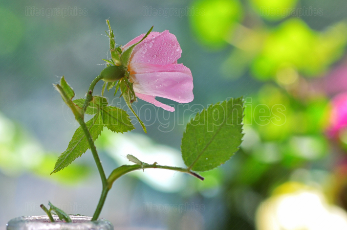 Close up of a dog rose, Rosa canina