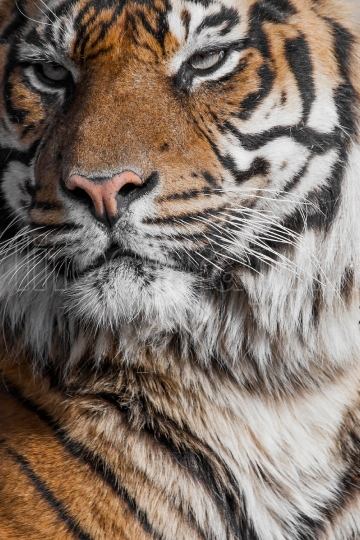 Close up of a tigers face