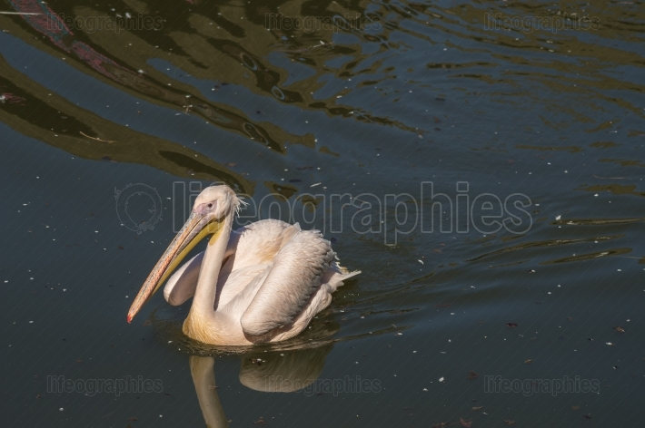 Close up of pelican on a lake in the Pairi daisa park