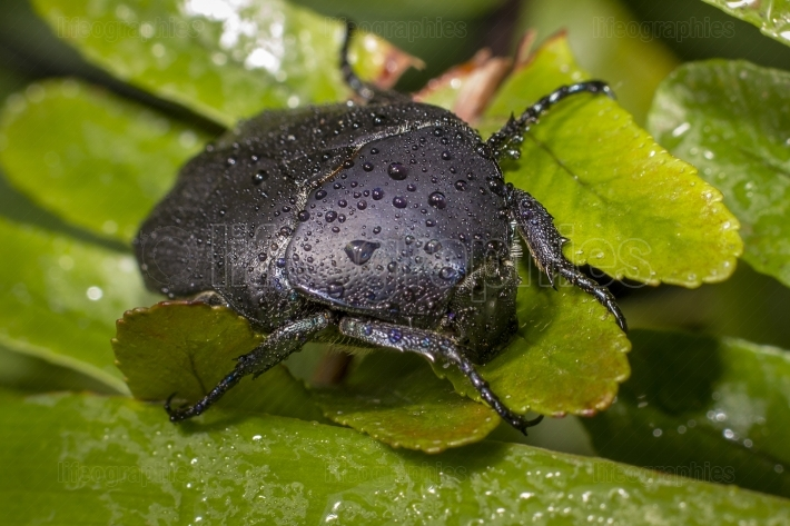 Closeup of a wet black beetle on green leaves