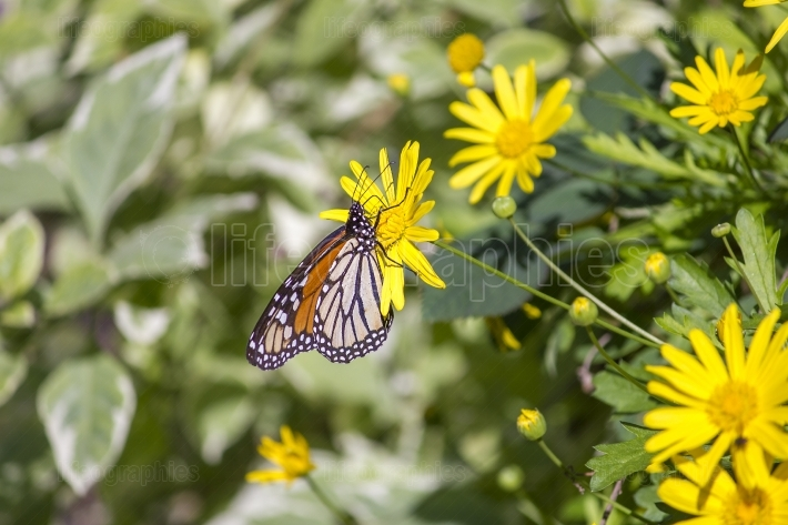 Colorful monarch butterfly sitting on yellow daisy