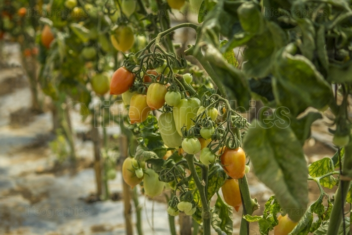 Colorful Tomatoes growing  closeup