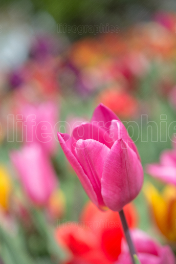 Colorful tulip flower bloom in the garden