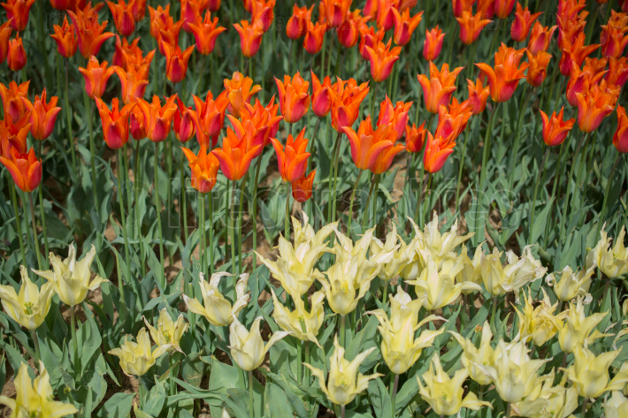 Colorful tulip flowers bloom in the garden
