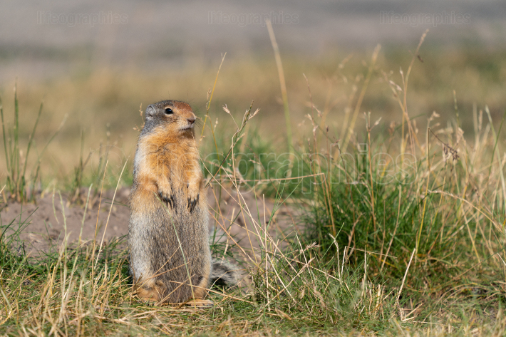 Columbia Ground Squirrel, Urocitellus columbianus