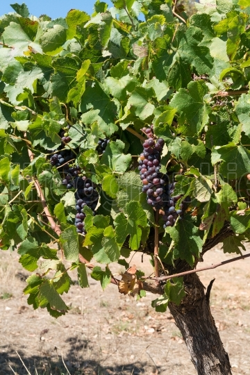 Common grape vine, Vitis vinifera