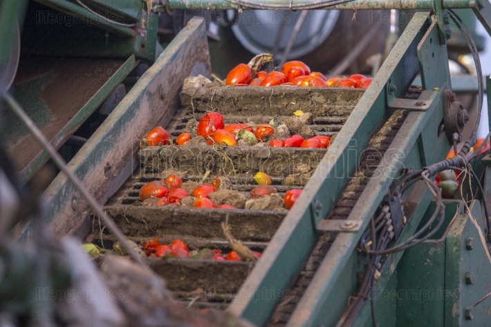Conveyor belt loading tomatoes before being sorted on harvester
