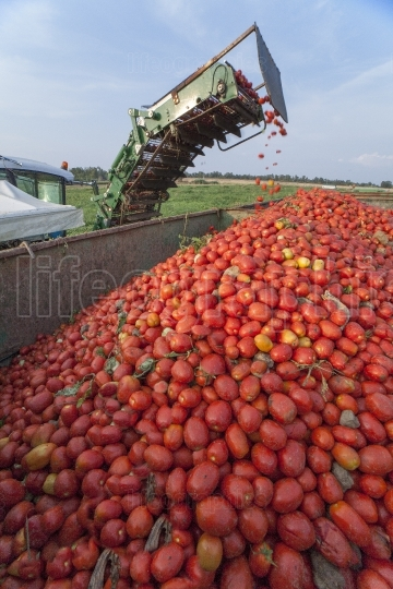 Conveyor belt of harvester collecting tomatoes in trailer, Spain