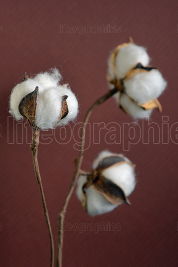 Cotton branches in vase