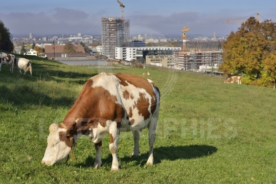 Cow eating grass with Bern city in background
