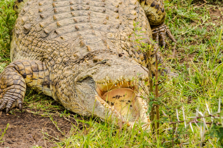 Crocodile mouth open in Nairobi park