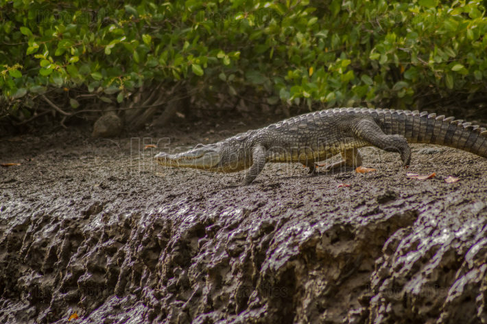 Crocodile walking along the Gambia river