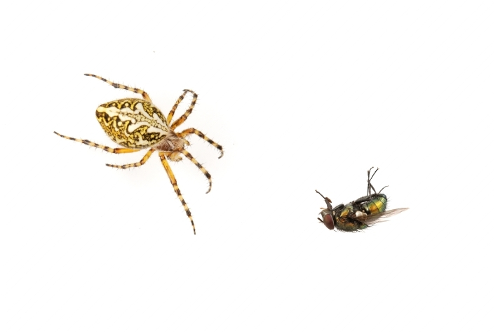 Cross spider and fly on a white background