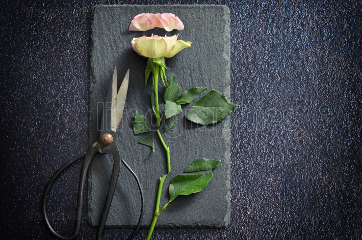 Cut Pink Rose and Scissors on Stone