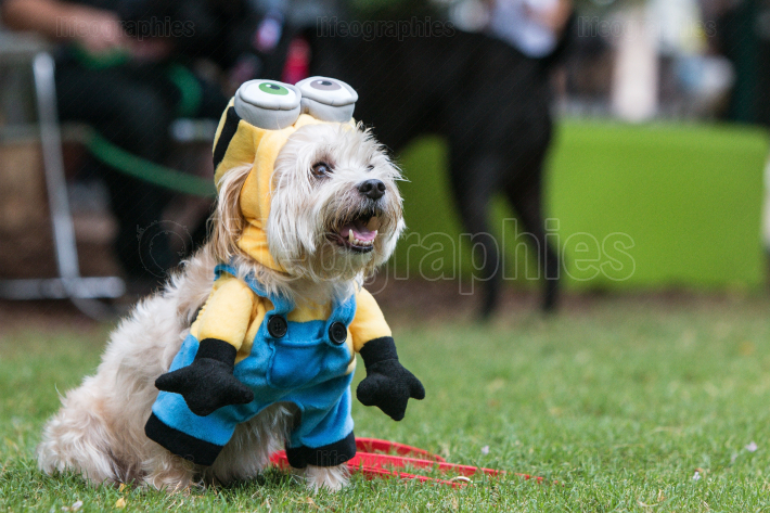 Cute Dog Wears Despicable Me Minion Costume At Doggy Con