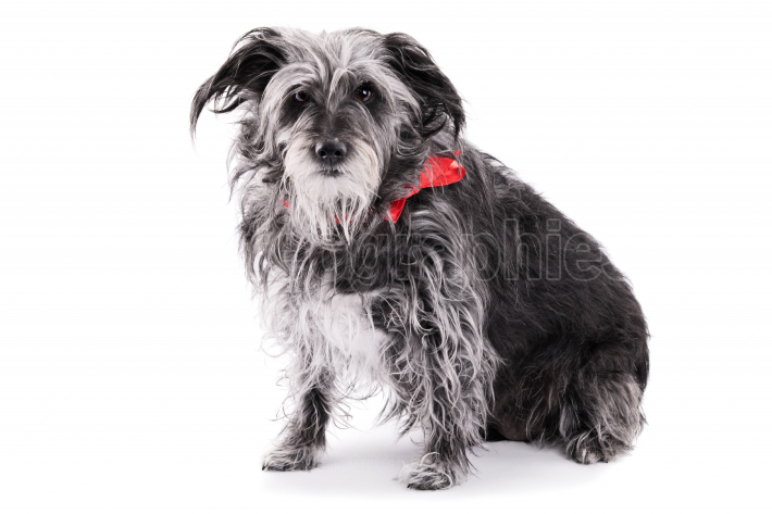 Cute dog with red ribbon isolated on white background