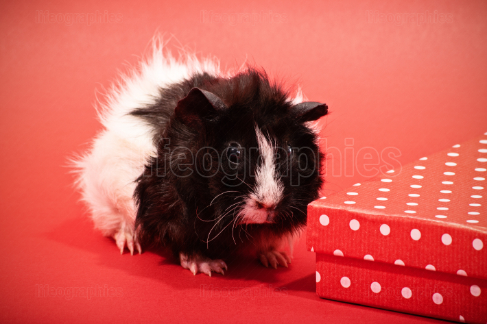 Cute guinea pig next to a red gift box