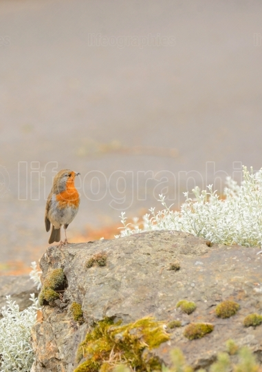Cute little robin bird on rock