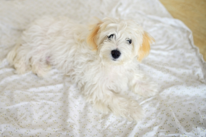 Cute white young maltese dog