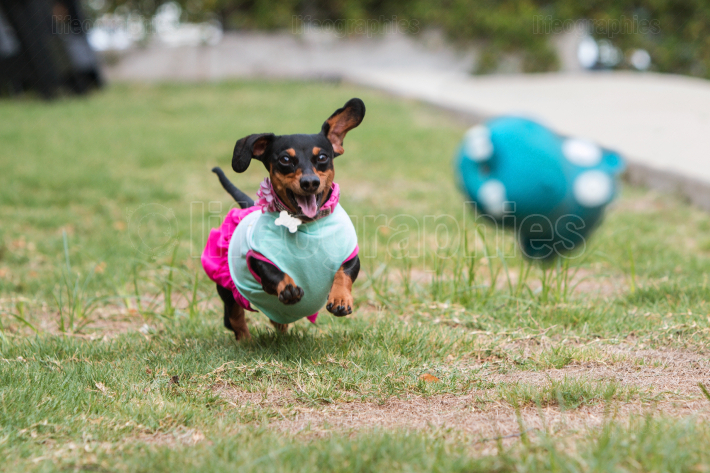 Dachshund Wearing Clothes Chases After Thrown Toy In Atlanta Par