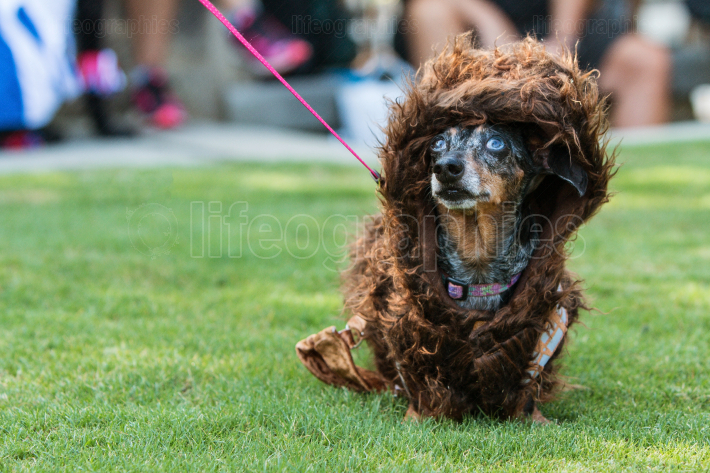 Dachshund Wears Wookiee Outfit At Pet Costume Contest