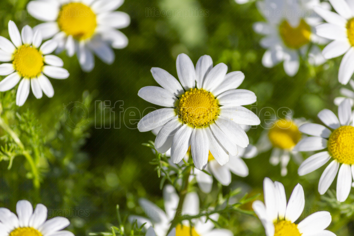Daisies up close
