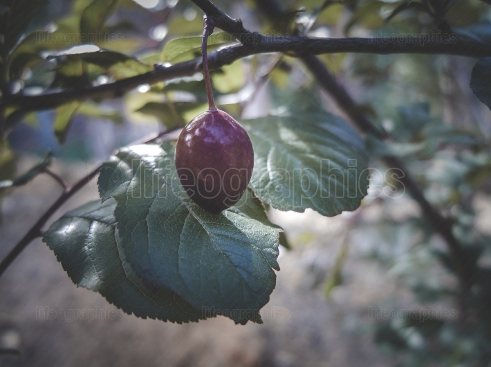 Damson Plum on the tree