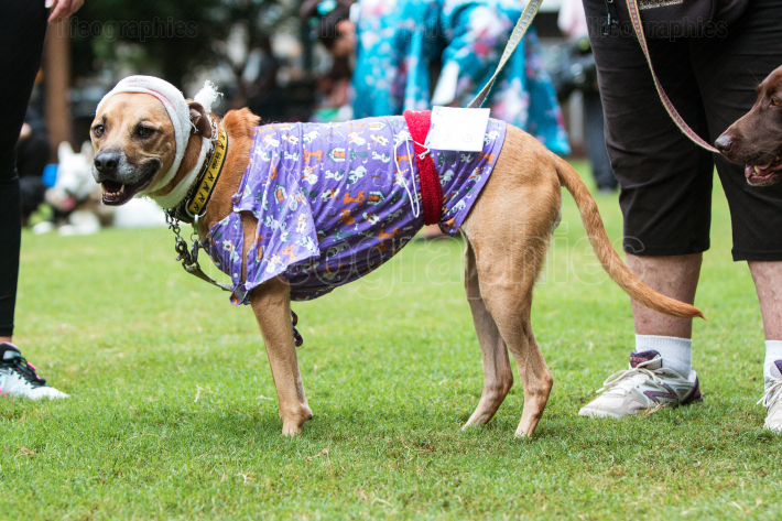 Dog Wears Hospital Patient Costume At Atlanta Doggy Con Event
