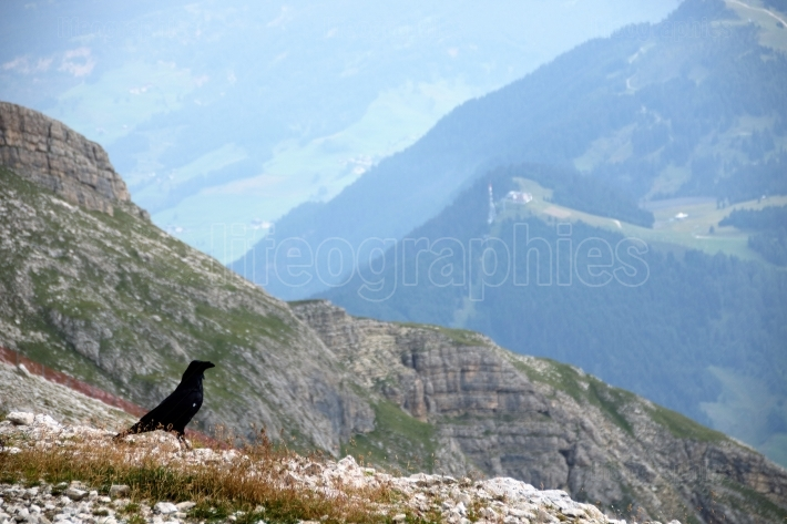 Dolomite s landscape and alpine raven
