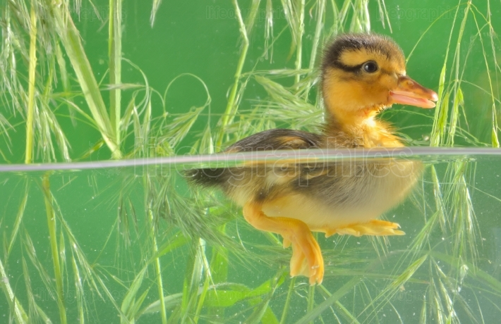 Duckling swimming in aquarium