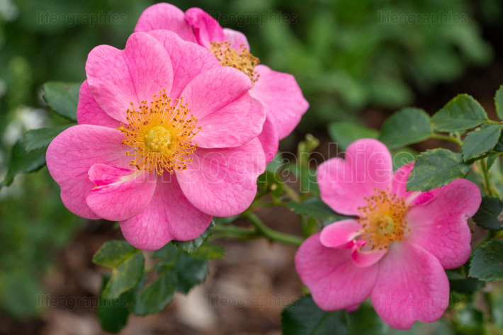 Dwarf rose, Rosa patio