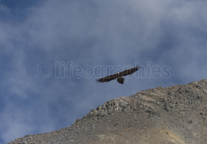 Eagle from Karakoram Mountains