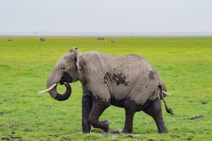 Elephant half immersed in the marshes of Amboseli