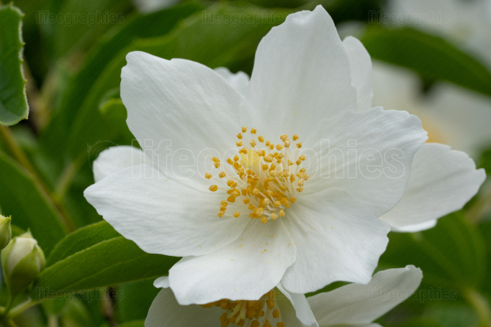 English dogwood, Philadelphus coronarius