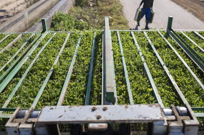 Farmer loading tomato seedlings trays on trailer racks