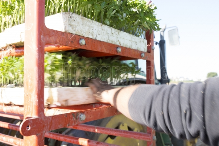 Farmer loading trays on transplanter machine