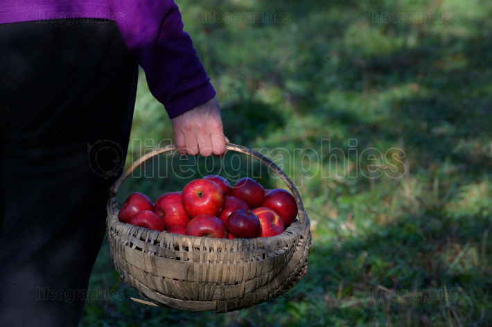 Farmer s Hands Hold A Large Basket Full Of Ripe Apples