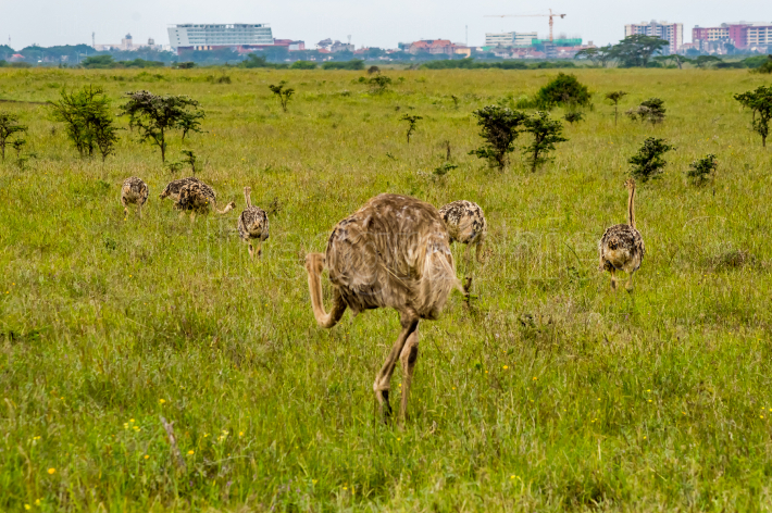 Female Ostrich and cubs in the savannah