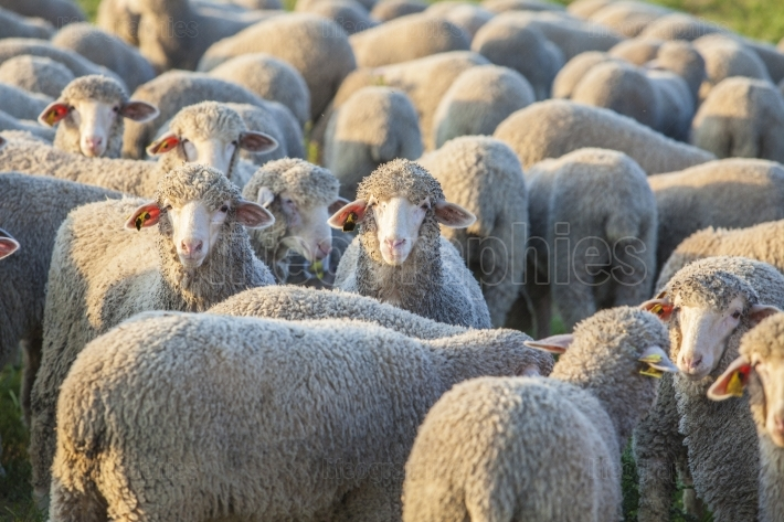 Flock of merina sheep at Extremadura dehesa, Spain