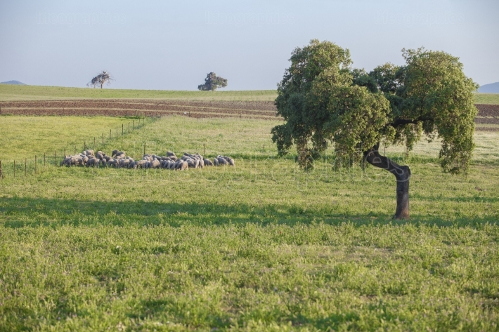 Flock of merina sheeps grazing at Extremaduran dehesa, Spain