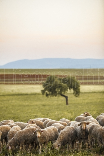 Flock of merinas sheeps at Extremaduran dehesa, Spain
