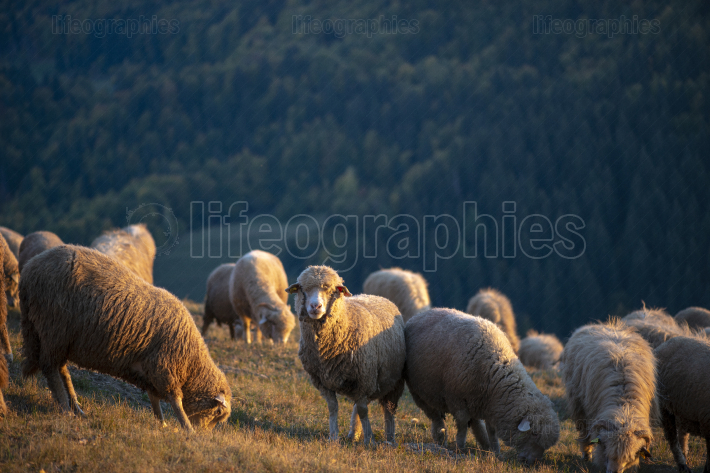Flock of sheep in mountains in autumn season