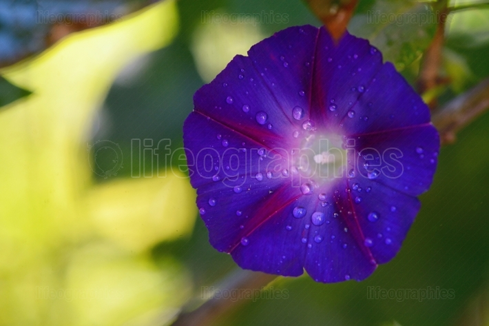 Flower of Ipomoea close up