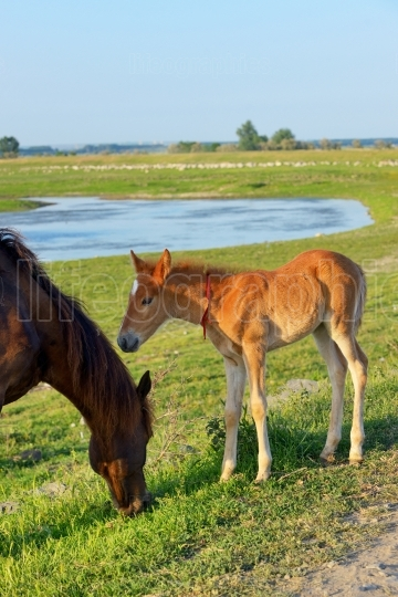 Foal with his mother in a field