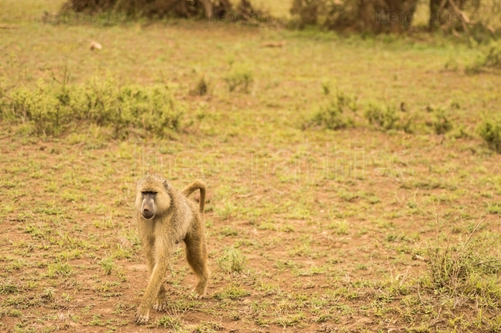Four legged baboon in savannah at Amboseli Park