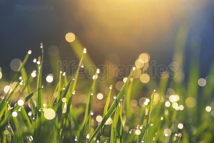 Fresh grass with dew drops